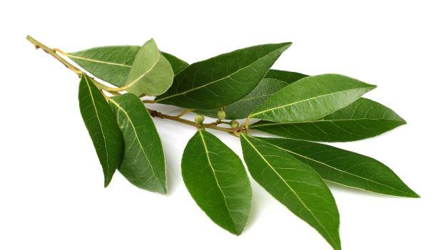 L'alloro, l'albero del mito