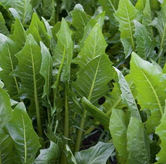 Cicoria (cichorium intybus L.)