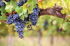Le infinite virtù della vite e del vino