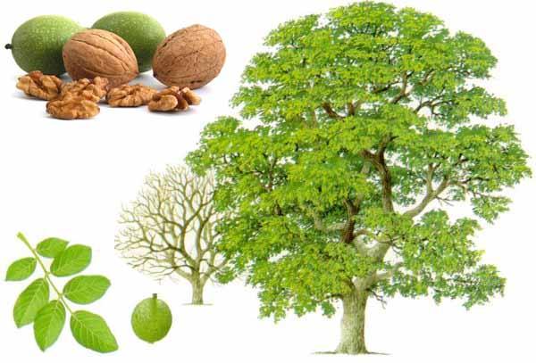 Come sarebbe la terra senza gli alberi di noce?